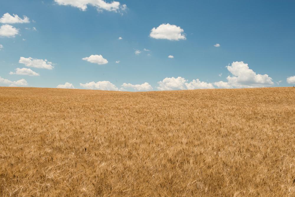 Урожайность пшеницы снизится на 6,4%, если температура на Земле вырастет на 1°C.