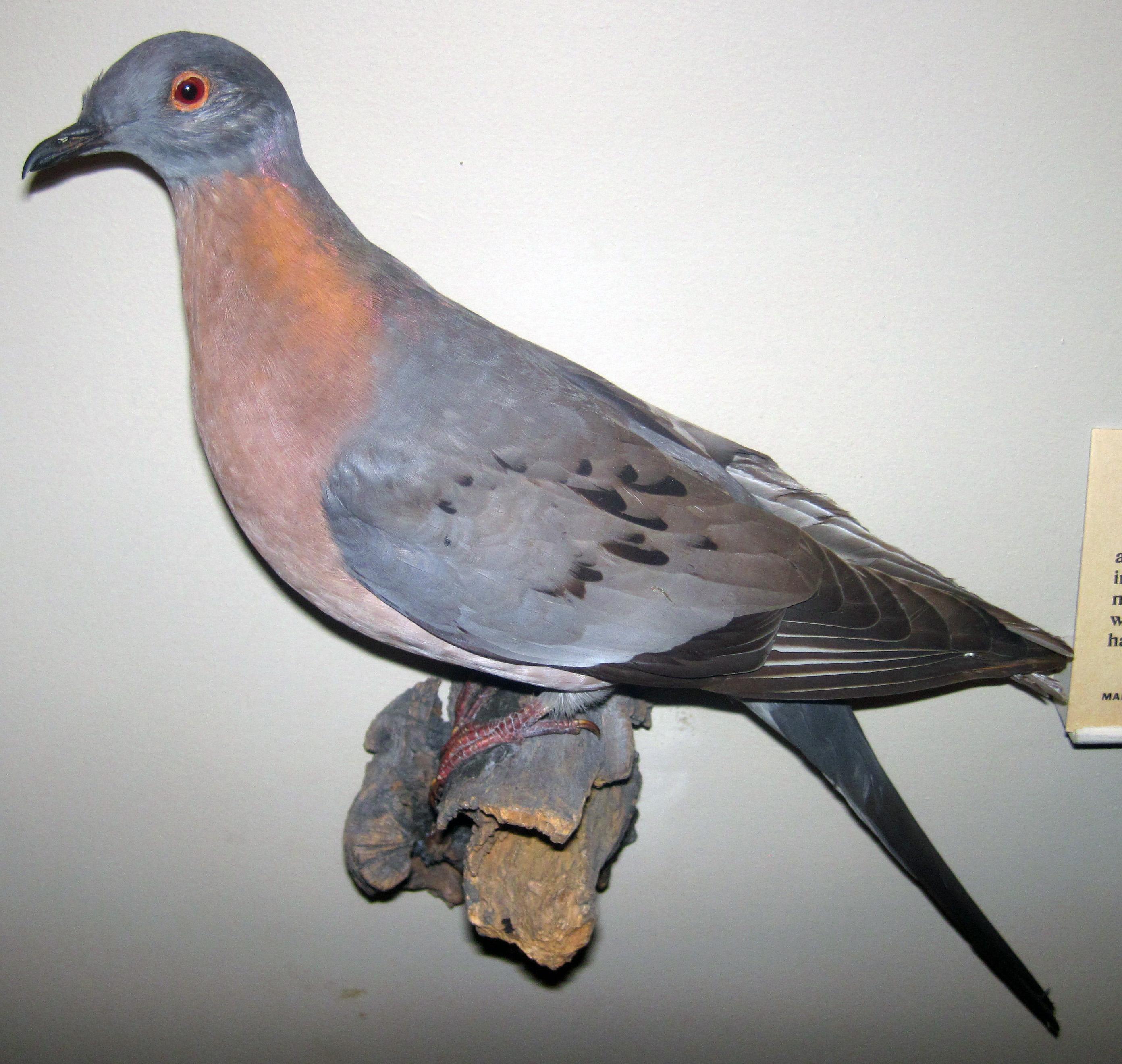 Самка странствующего голубя