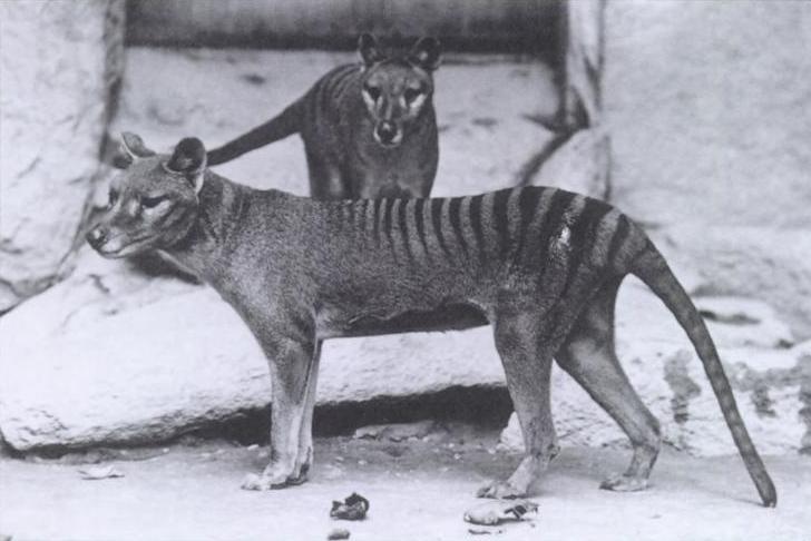 Тилацины в нью-йоркском зоопарке в 1902 году