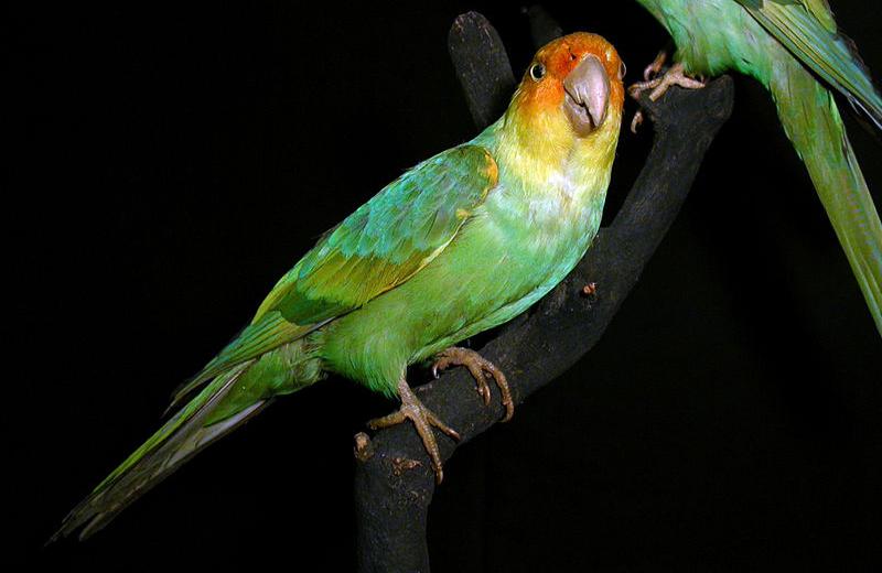 Каролинский попугай.