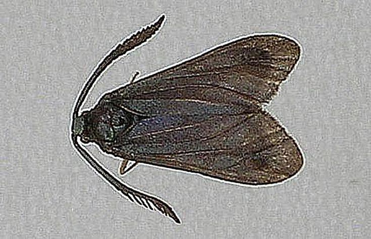Левуанский мотылек