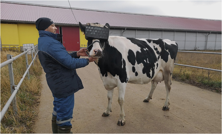 VR-очки для коров увеличат надои на ферме в Подмосковье