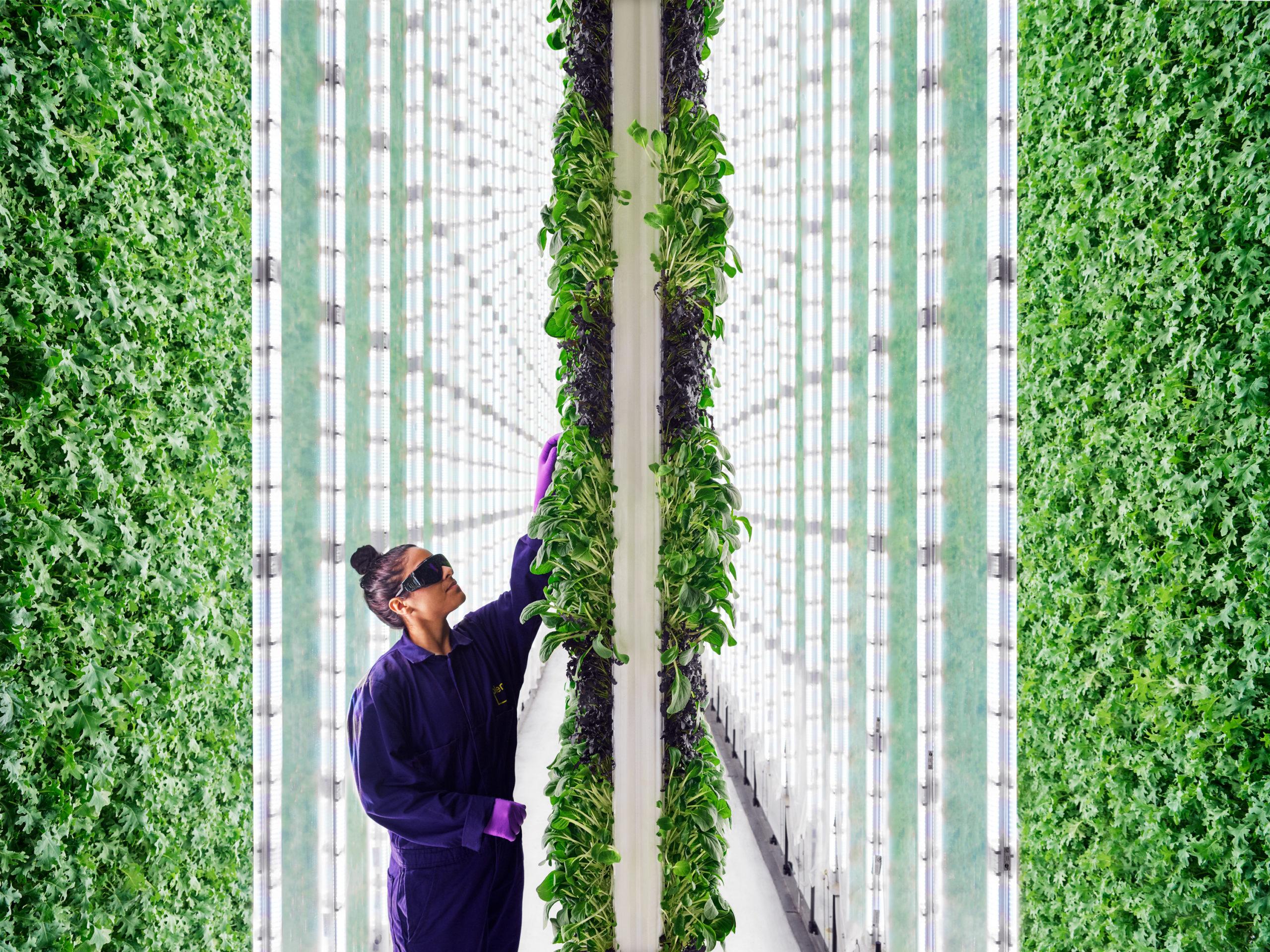 Новая вертикальная ферма управляется ИИ и роботами, а не людьми