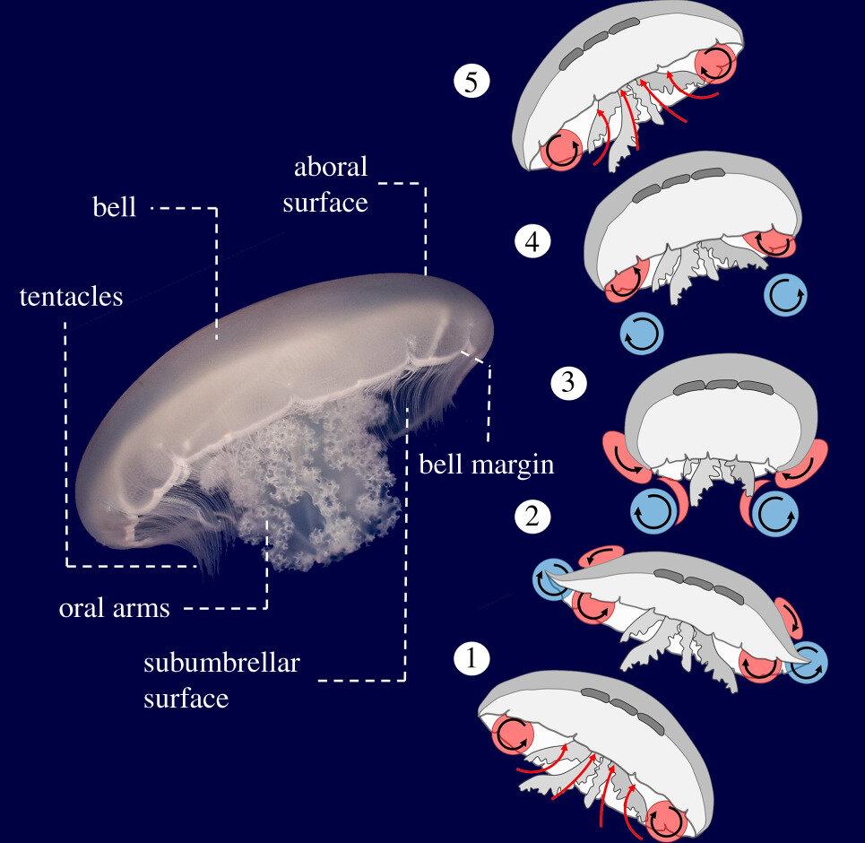 Анатомические особенности медузы и расположение вихрей во время цикла плавания лунной медузы. Предоставлено: Университет Южной Флориды.