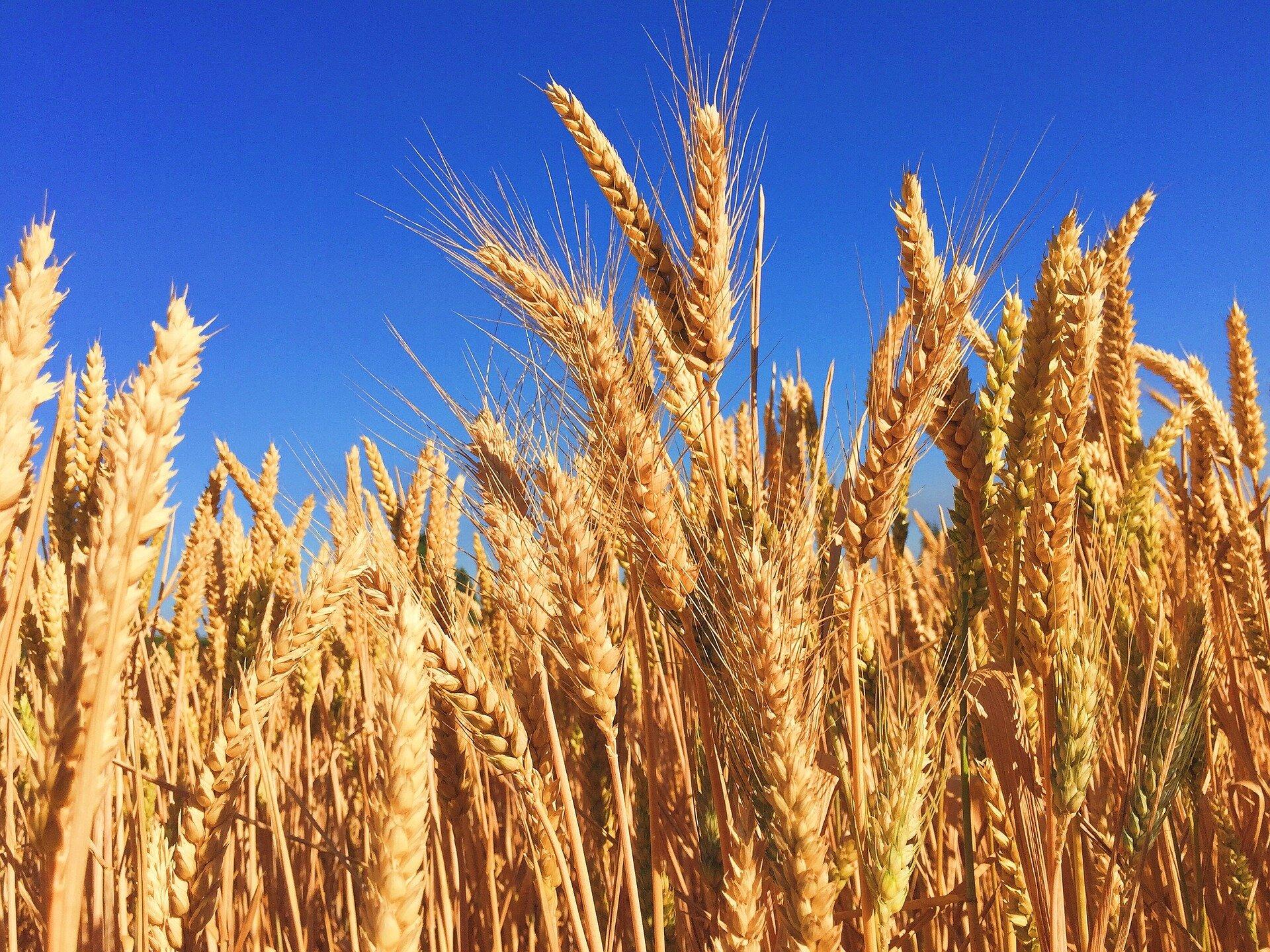 Создан пластик из пшеничной соломы. Он прочнее аналогов