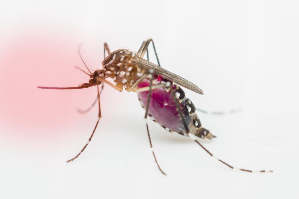 В США выпущены первые генетически модифицированные комары, чтобы остановить их размножение