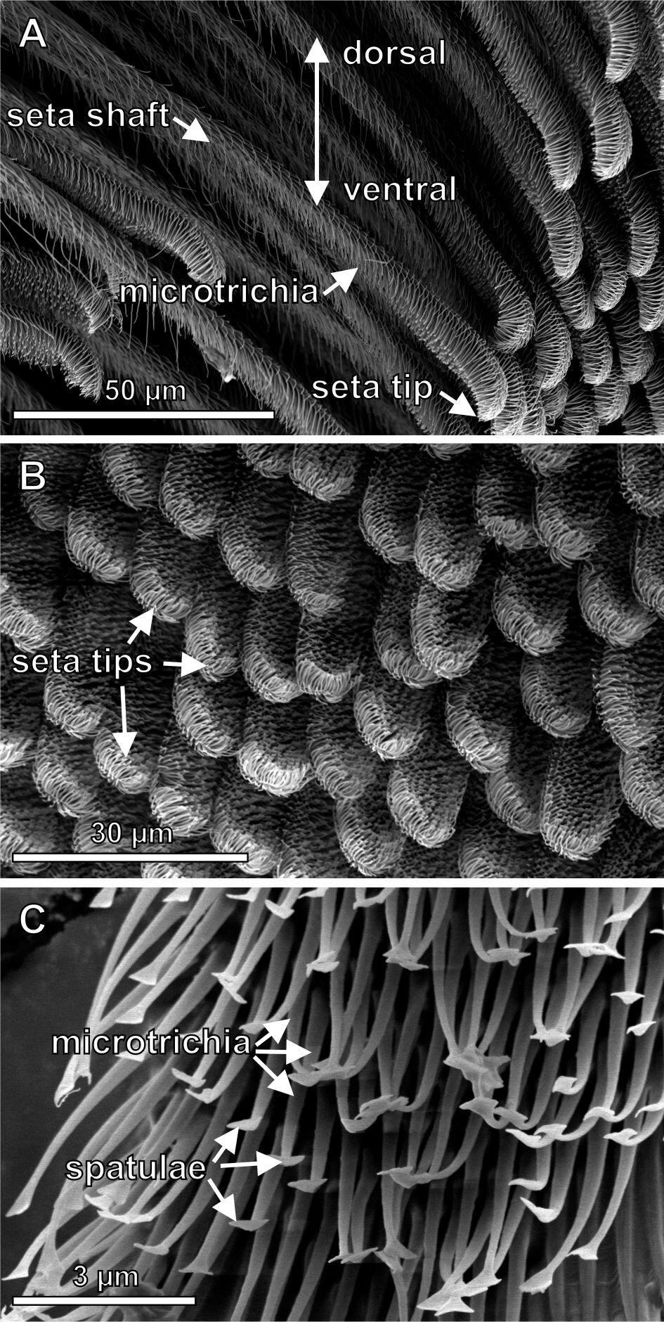 Лапки павуків надихнули вчених на створення потужного оборотного клею
